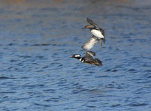Hooded Mergansers Royalty Free Stock Images