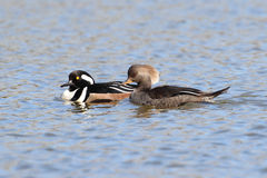 Hooded Mergansers Royalty Free Stock Photo