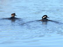 Hooded Mergansers ply the waterway in the north Florida swamp. The north Florida island offers a plethora of open space greenways with dense swamp and open stock photo