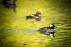 Hooded mergansers swimming. Royalty Free Stock Images
