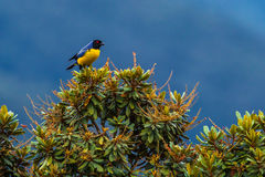 Hooded Mountain Tanager Royalty Free Stock Photo