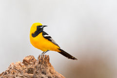 Hooded Oriole. Side Profile of Adult Male Hooded Oriole Perched on Old Tree Stump Royalty Free Stock Photo