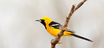 hooded oriole Arkivbild