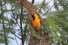 Hooded Oriole Royalty Free Stock Image