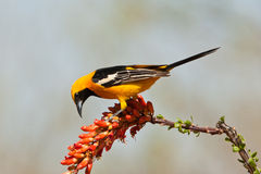 Hooded, Oriole. Male Hooded Oriole Foraging on Ocotilla Branch With Red Flower Stock Photography