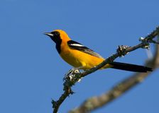 Hooded oriole. This is a male hooded oriole.  Hooded orioles are found in the southwestern United States Stock Images