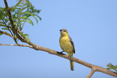 Hooded Oriole Royalty Free Stock Images