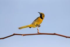 hooded oriole Royaltyfri Bild