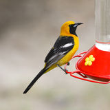 Hooded Oriole Stock Image