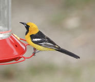 Hooded Oriole Royalty Free Stock Photography