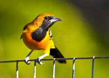 Hooded Oriole Perched on a Wire Fence Stock Images