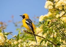 A hooded oriole sitting on the branch of a bush full of small yellow roses with blue sky in the background royalty free stock photo
