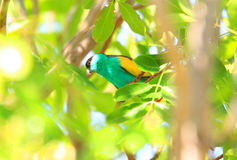 Hooded Parrot Royalty Free Stock Photos