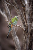 Hooded parrot, Psephotus dissimilis. Single female on branch Stock Images