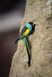 Hooded parrot, Psephotus dissimilis. Single male on rock Stock Photos