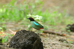 Hooded pitta Royalty Free Stock Images