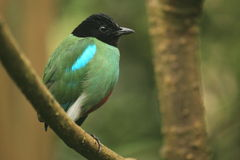 Hooded pitta Arkivfoto