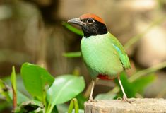 Hooded pitta Royalty Free Stock Image