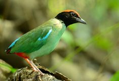Hooded pitta Stock Images