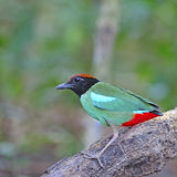 Hooded Pitta Stock Image
