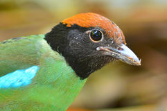Hooded pitta bird Stock Images