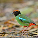 Hooded pitta bird Stock Photos