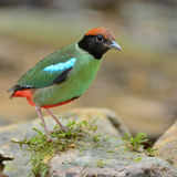 Hooded pitta bird Royalty Free Stock Photos