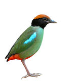 Hooded pitta bird Royalty Free Stock Image