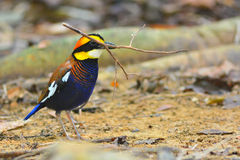Hooded pitta bird Stock Photography
