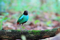 Hooded Pitta On green timber royalty free stock image