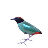Hooded Pitta Stock Photography