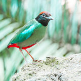 Hooded Pitta Royalty Free Stock Photos
