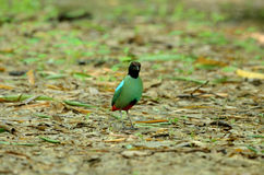 Hooded pitta (Pitta sordida) Stock Photography