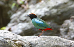 Hooded Pitta Pitta sordida Stock Images