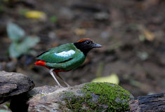 Hooded Pitta Pitta sordida Royalty Free Stock Photo
