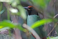 Hooded Pitta Pitta sordida Birds of Thailand Stock Image