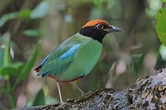 Hooded Pitta Pitta sordida Birds of Thailand Royalty Free Stock Photo