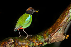 Hooded Pitta (Pitta sordida). Catch on the tree with worm in mount in nature at Kaengkrajarn national park,Thailand Royalty Free Stock Photo