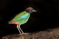 Hooded Pitta (Pitta sordida) Stock Image