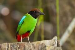 Hooded Pitta (Pitta sordida). On the wood staring at us in nature Royalty Free Stock Photos