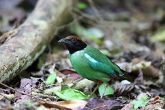 Hooded Pitta Royalty Free Stock Photography