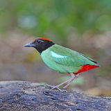 Hooded Pitta Royalty Free Stock Photo