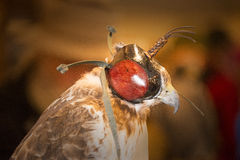 Hooded Red Tail Hawk Stock Images