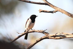 Hooded robin Royalty Free Stock Photography