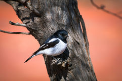 Hooded Robin Stock Photo