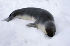 Hooded seal pup. (Cystophora cristata) in the Canadian Arctic