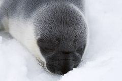 Hooded seal pup. (Cystophora cristata) in the Canadian Arctic Royalty Free Stock Photo