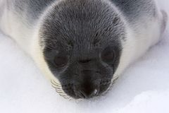 Hooded seal pup royalty free stock photos