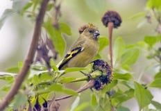 Hooded siskin female eating sunflower seed Royalty Free Stock Image