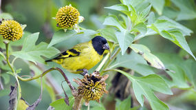 Hooded siskin male eating sunflower seed Stock Images